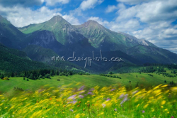 Vetrom rozhýbané kvety pod Belianskymi Tatrami