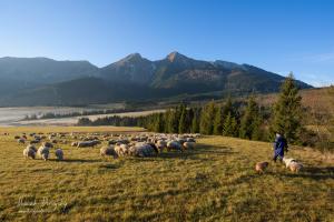 Ovečky a pastier pod Belianskymi Tatrami