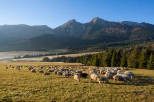Ovečky pod Belianskymi Tatrami