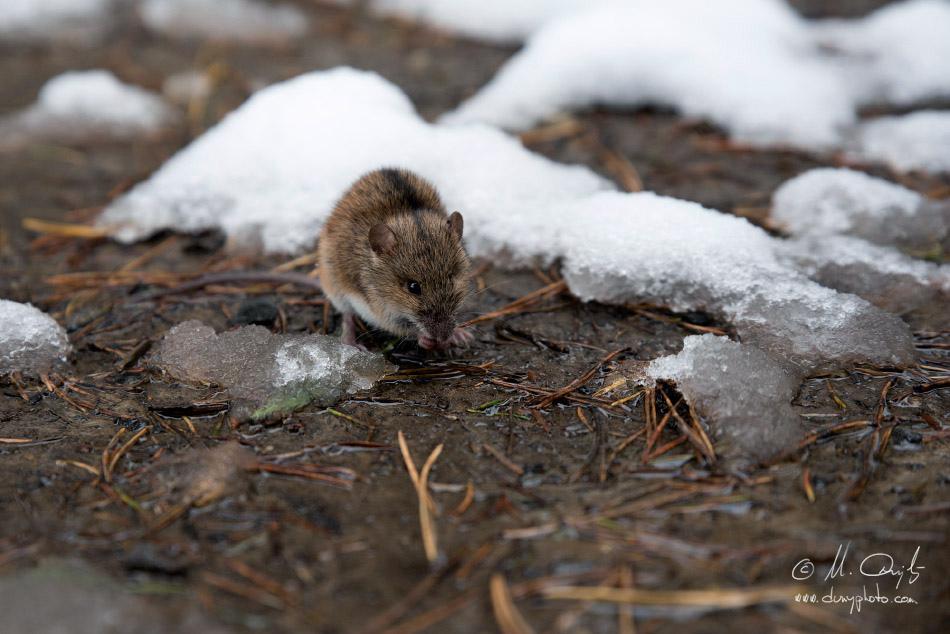 Myšovka horská